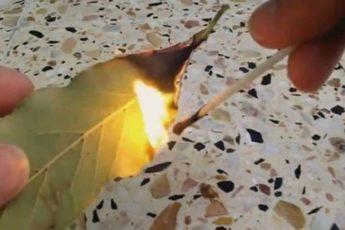 Зачем поджигают в доме лавровый лист 1